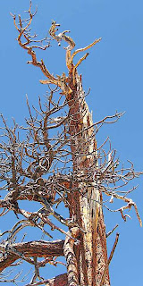 Tree Branches Blue Sky Mount San Jacinto State Park (c) David Ocker
