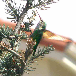 Hummingbird in a pine tree