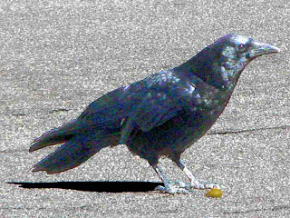 Crow on pavement