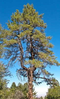 Earthquake Tree Wrightwood California San Andreas Fault