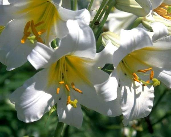 """""""fioritela di gigli....""""  U. Foscolo"""