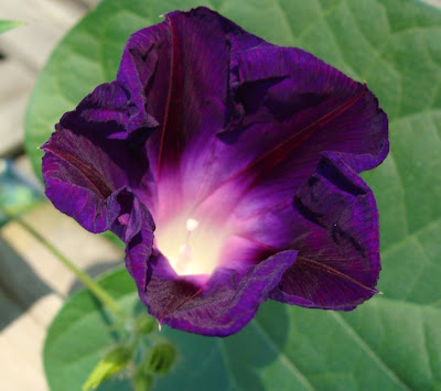 Morning Glory (Star of Yelta) flower opening