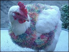 BBC photo - Chicken with jumper-sweater
