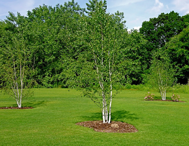 Landscaping With Paper Birch Trees : Plant inventory betula papyrifera paper birch