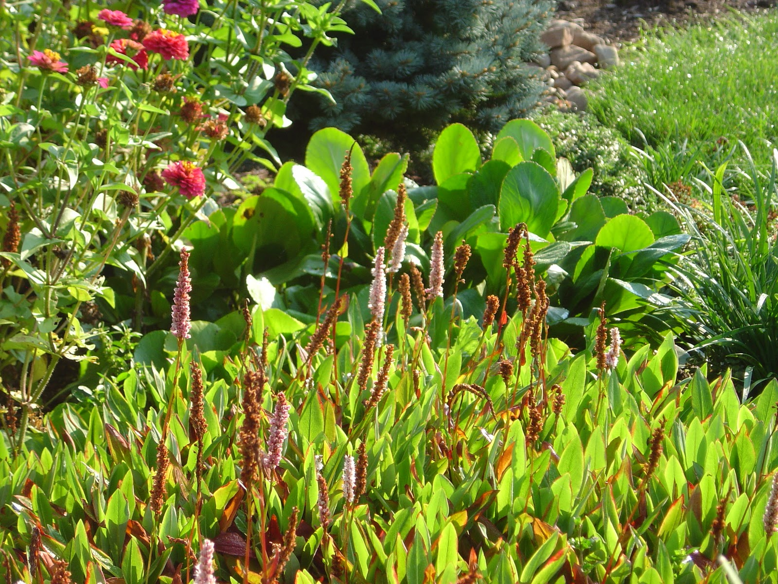 Plant Inventory At 20 Timothy Persicaria Fleeceflower