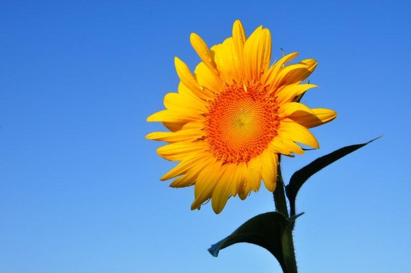 Theodore Scott - Sunflower