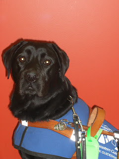 Picture of Duchess in a sit-stay in coat/harness. She is looking at the camera, and the background is a orange/red wall