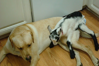 Picture of Toby showing Fresca how to fall ontop of a dog (Fresca is laying down on Toby's hip)