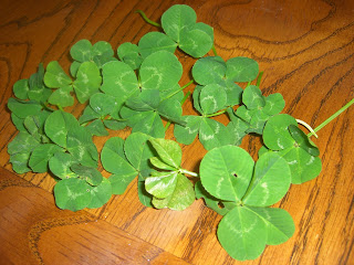 Picture of 20+, 4 (and 5) leaf clovers spread out on the table
