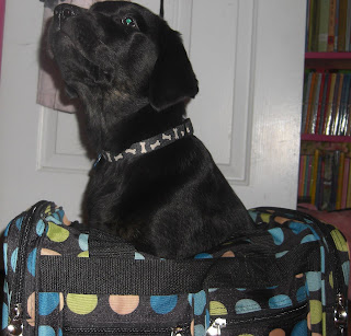 Photo of Rudy sitting IN the mini polka dot duffle bag - yes I put him IN the bag!