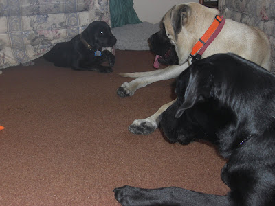 Photo of Sparkie and Liberty watching Rudy playing under the couch
