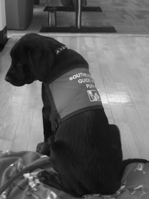 Black/white picture of Rudy in a sit-stay at a Zumba class at the YMCA - back in June