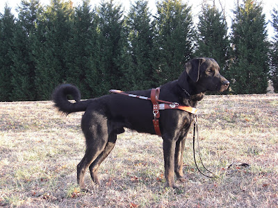 Picture of Rudy in a stand-stay in harness; facing the right