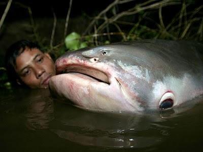 Ikan Lele Raksasa Ingin Makan Manusia