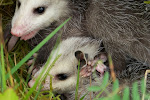 Young Opossums (Didelphis marsupialis)
