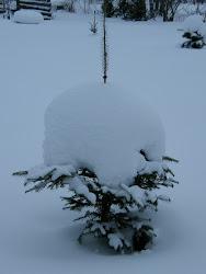 En snöbakelse i min trädgård.