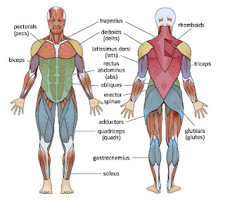 muscular health, Muscles