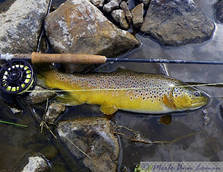 Brown trout caught in the Big Hole during a trico hatch