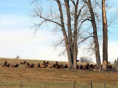 Elk herd on private land
