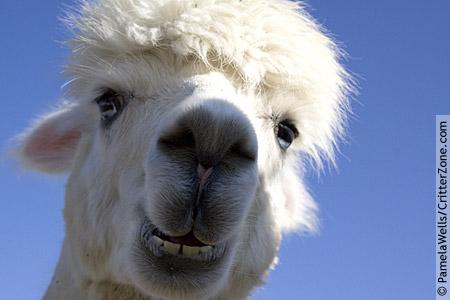 Alpaca Face I Take Photos i...