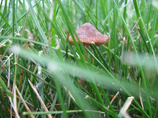 Mushrooms growing in the lawn