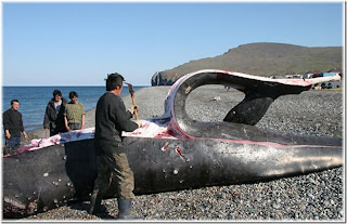Butchering whale-2