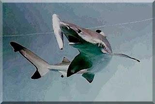 Tiburon de aguas profunda