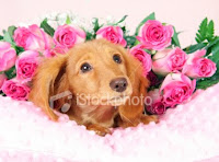 valentine puppy pictures