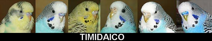 Timidaico