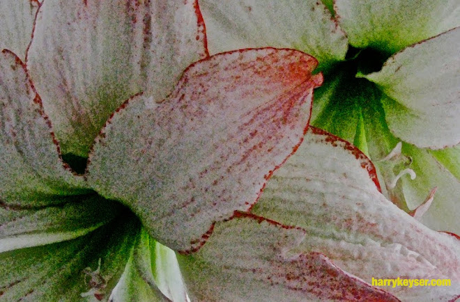 amaryllis detail