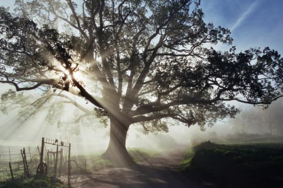 10 giugno festa della quercia for Alberi simili alle querce