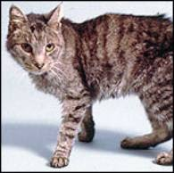abyssinian tabby mix