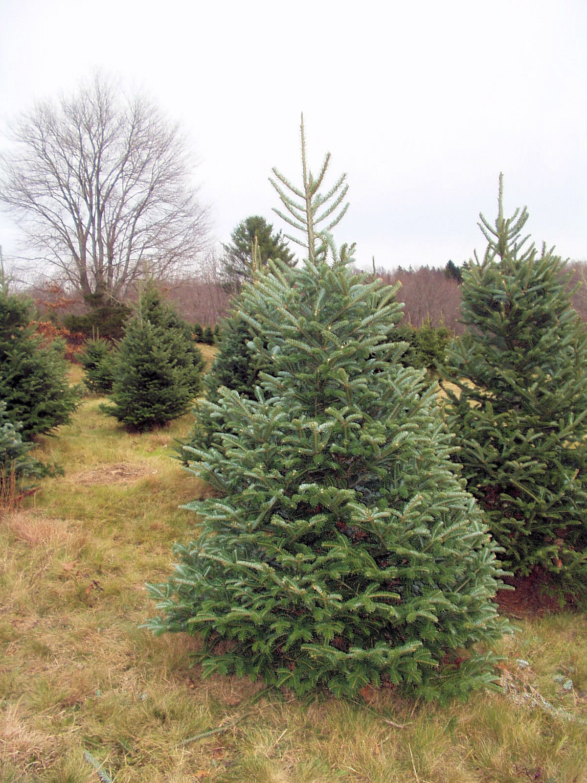 Boxwood terrace before and after the christmas tree for Terrace trees