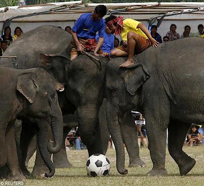 http://1.bp.blogspot.com/_u8H1VuXpFmY/TNY1aU8XOjI/AAAAAAAADBE/5rw3dNY4WSg/s400/Elephant+Football+In+Surin.jpg