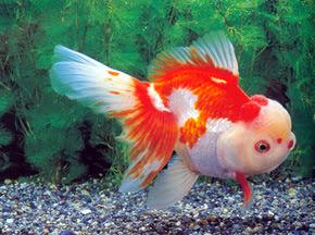 Nuansa Bisnis: Nuansa Bisnis : Bisnis Ikan mas Koki