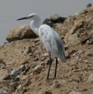 Strange Little Egret standing