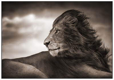 Great Photos3 Great Lion Photos by Nick Brandt
