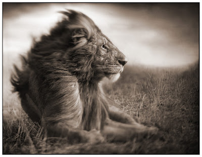 Great Photos1 Great Lion Photos by Nick Brandt