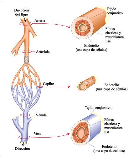 Sistemas Biológicos: Vasos sanguíneos