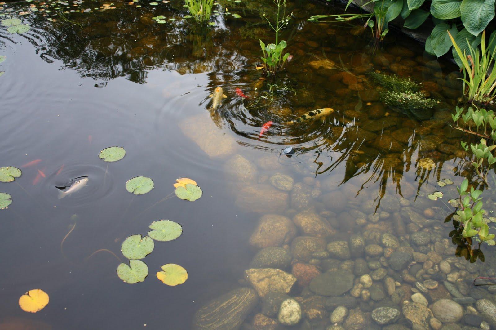 Wenches hage og hobby vannlilje og dam for Koi zot i mange zordi