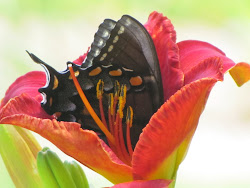 As I was photographing lilies one day, I was delighted to find this black tiger swallowtail sipping