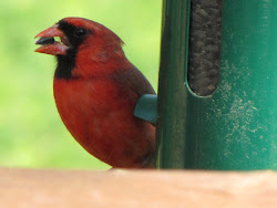 Cardinal - one of the many birds that eat from our feeders!