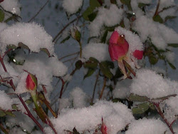 Roses Overtaken with Snow