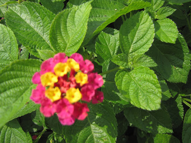 Hot pink and Yellow Lantana