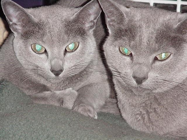 russian blue cat for sale - 640×480
