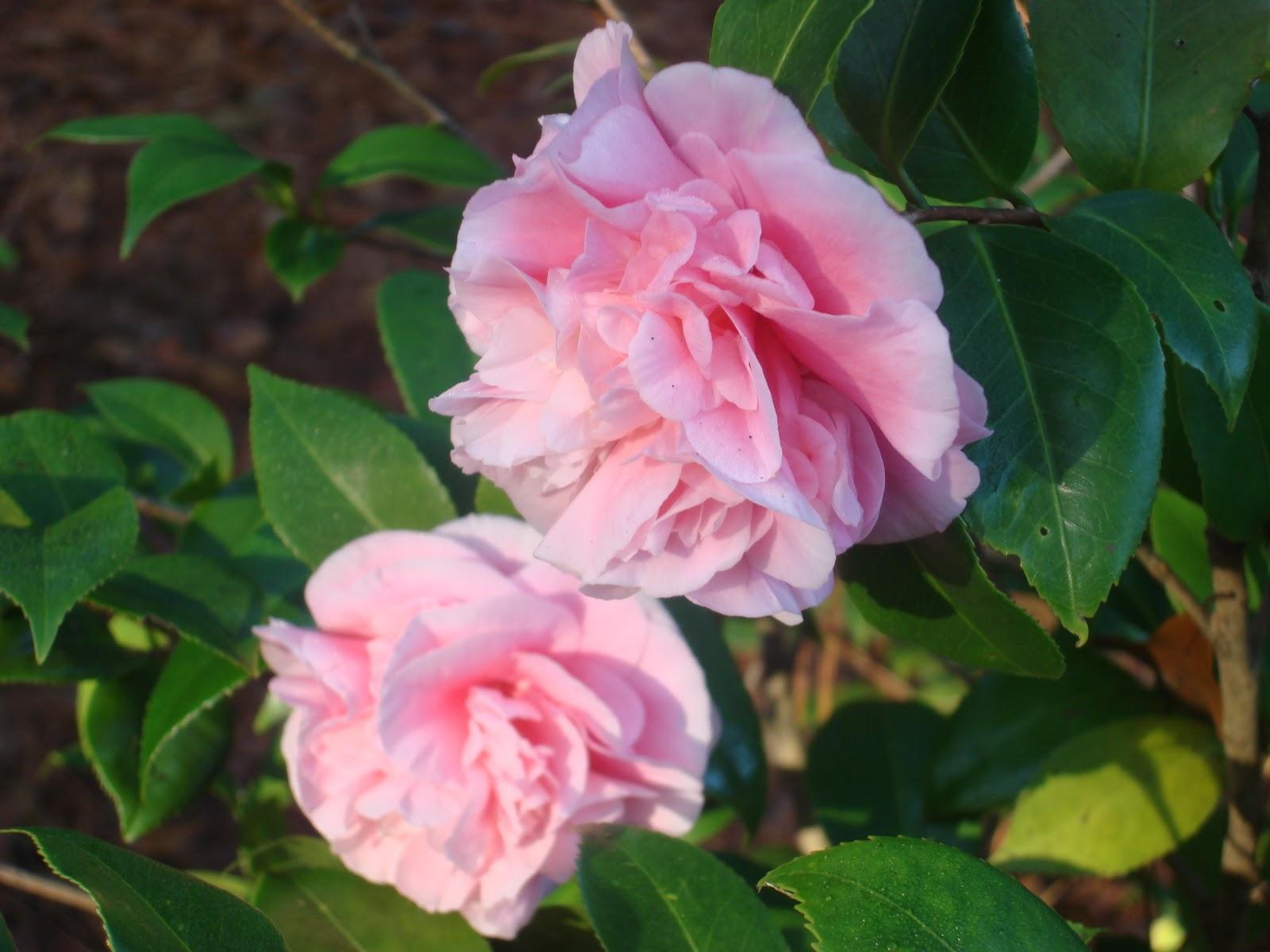 Mlchgarden camellias for Camellia homes