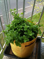 mint plants in bright yellow planter