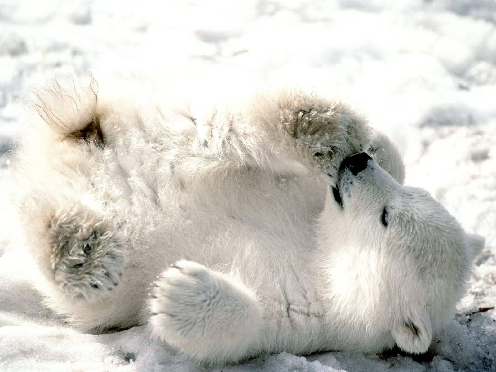[baby+polar+bear.jpg]