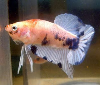 Beautiful fish fresh water ornamental fish diseases for Fish disease ick
