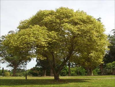 Arbol de hoja perenne image for Arboles frutales de hoja perenne para jardin